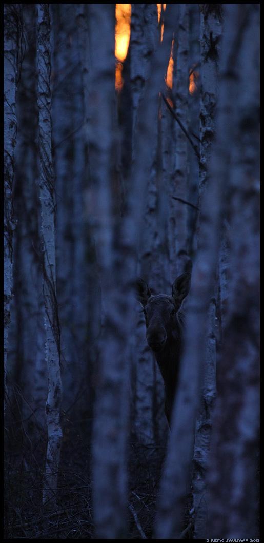 Põder, Moose, Alces alces kaasik kased birch trees päikeseloojang sunset Remo Savisaar Eesti loodus  Estonian Estonia Baltic nature wildlife photography photo blog loodusfotod loodusfoto looduspilt looduspildid