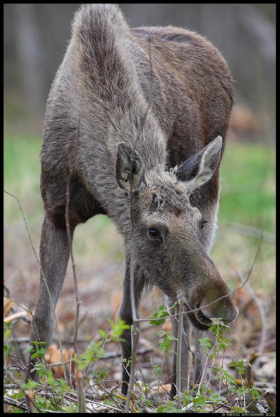 Põder, Moose, Alces alces Remo Savisaar Eesti loodus  Estonian Estonia Baltic nature wildlife photography photo blog loodusfotod loodusfoto looduspilt looduspildid