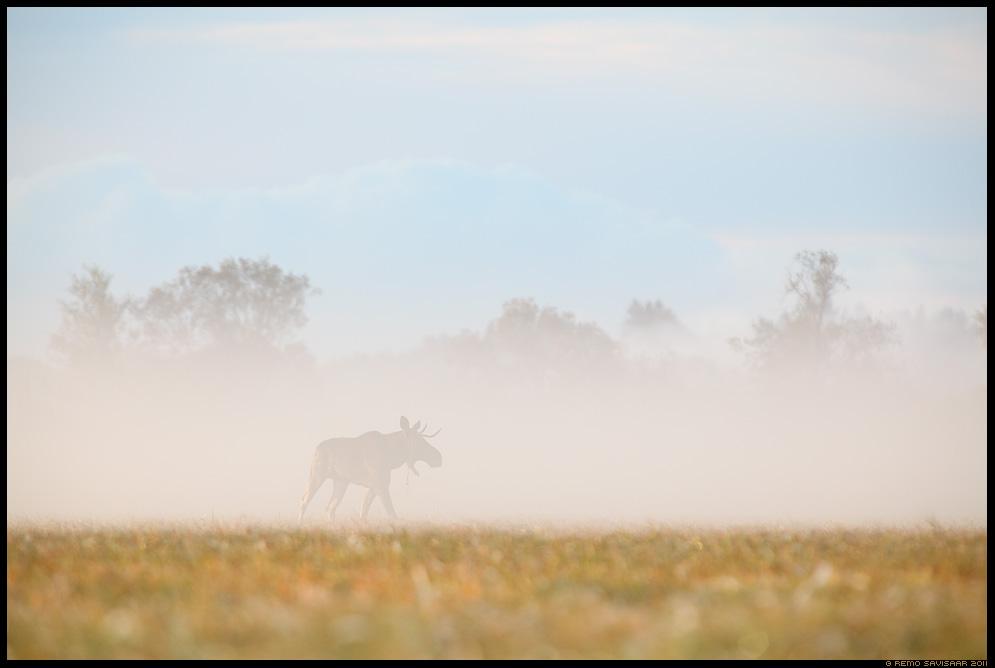 Põder, Moose, Alces alces, Hommik luhal, Morning at the floodplain meadow, sügis, sügishommik, autumn morning, udune, foggy, märgala, matsalu