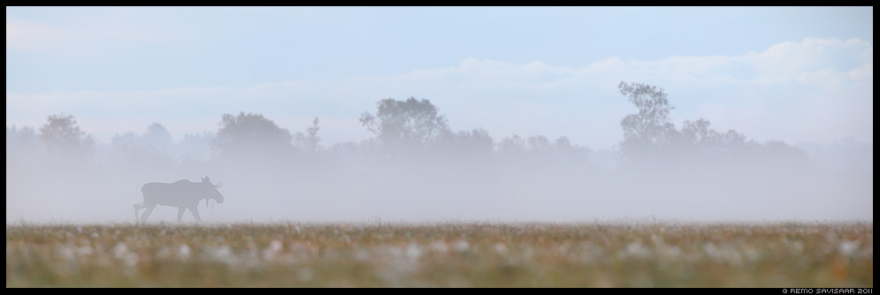 Põder, Moose, Alces alces, Hommik luhal, Morning at the floodplain meadow, sügis, sügishommik, matsalu, roostik, pilliroog, udu, udune, fog, foggy, mist, misty