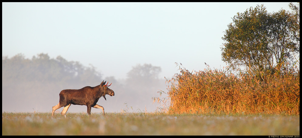 Põder, Moose, Alces alces, Hommik luhal, Morning at the floodplain meadow, sügis, sügishommik, matsalu, roostik, pilliroog
