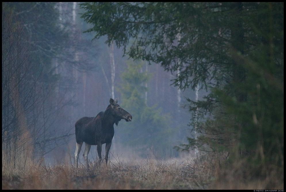 Põder Moose Elk Alces alces Remo Savisaar Eesti loodus Estonian Estonia Baltic nature wildlife photography photo blog loodusfotod loodusfoto looduspilt looduspildid