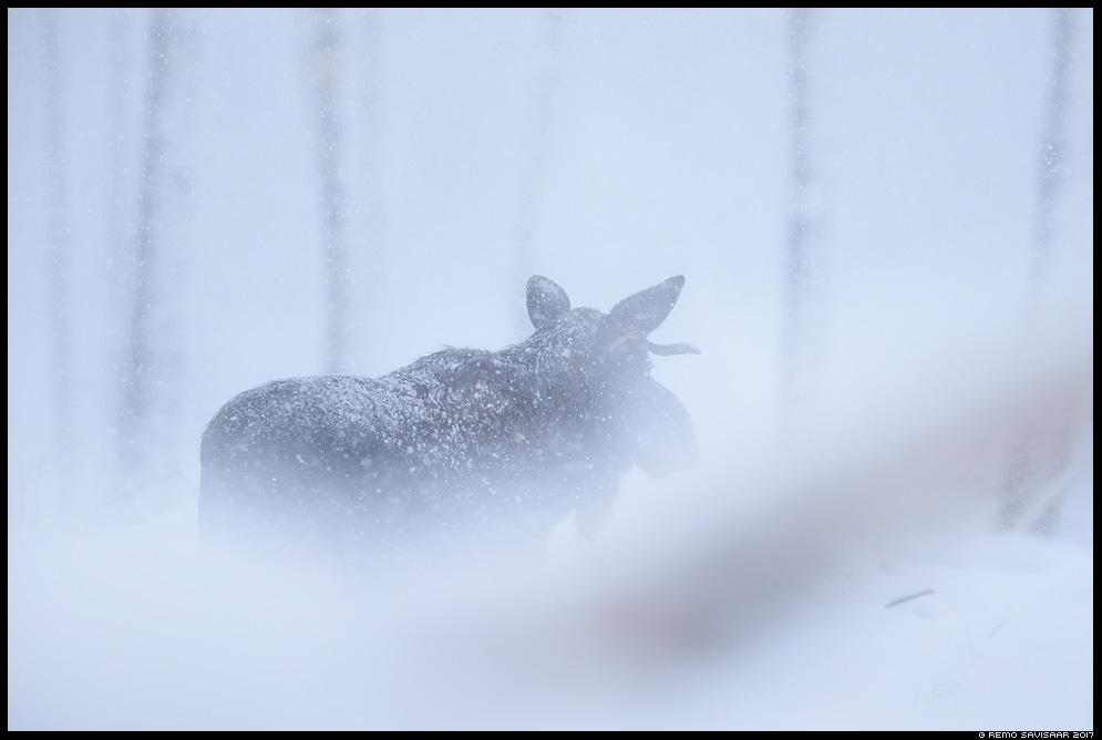 Kohtumine lumesajus, Meeting in heavy snowfall Põder, Moose, Elk, Alces alces Remo Savisaar Eesti loodus Estonian Estonia Baltic nature wildlife photography photo blog loodusfotod loodusfoto looduspilt looduspildid
