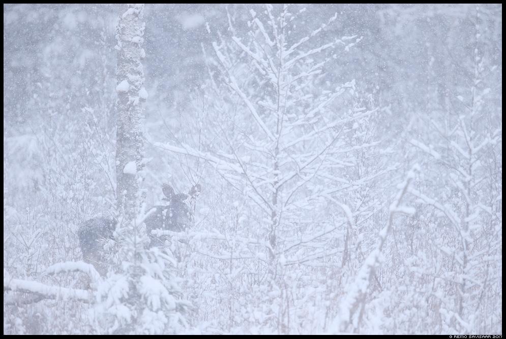 Põder, Moose, Elk, Alces alces talv winter lumi lumesadu snowfall mets forest Remo Savisaar Eesti loodus  Estonian Estonia Baltic nature wildlife photography photo blog loodusfotod loodusfoto looduspilt looduspildid