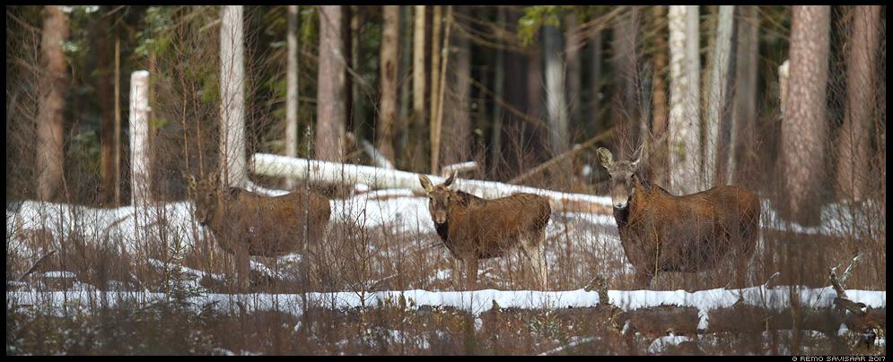Põder, Moose, Elk, Alces alces Remo Savisaar Eesti loodus Estonian Estonia Baltic nature wildlife photography photo blog loodusfotod loodusfoto looduspilt looduspildid