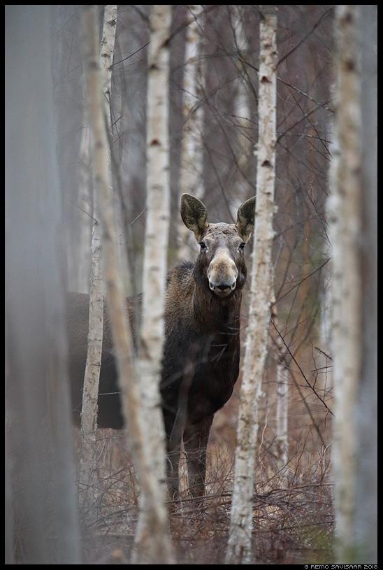 Põder, Moose, Elk, Alces alces talvine mets winter forest Remo Savisaar Eesti loodus Estonian Estonia Baltic nature wildlife photography photo blog loodusfotod loodusfoto looduspilt looduspildid