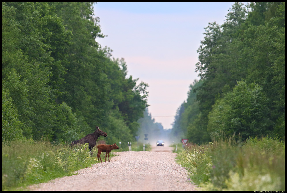 Põder, Moose, Elk, Alces alces sõidutee auto car road loomalaps pere family Remo Savisaar Eesti loodus Estonian Estonia Baltic nature wildlife photography photo blog loodusfotod loodusfoto looduspilt looduspildid