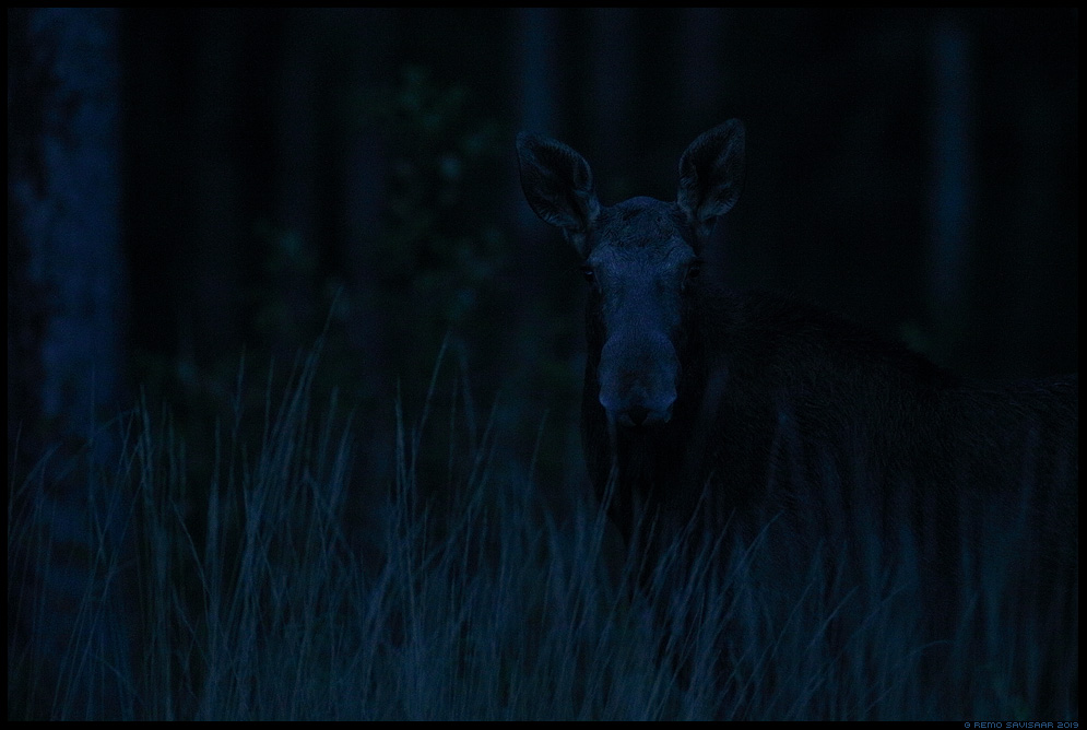 Põder, Moose, Elk, Alces alces alutaguse hämar pime öö darkness night Remo Savisaar Eesti loodus Estonian Estonia Baltic nature wildlife photography photo blog loodusfotod loodusfoto looduspilt looduspildid