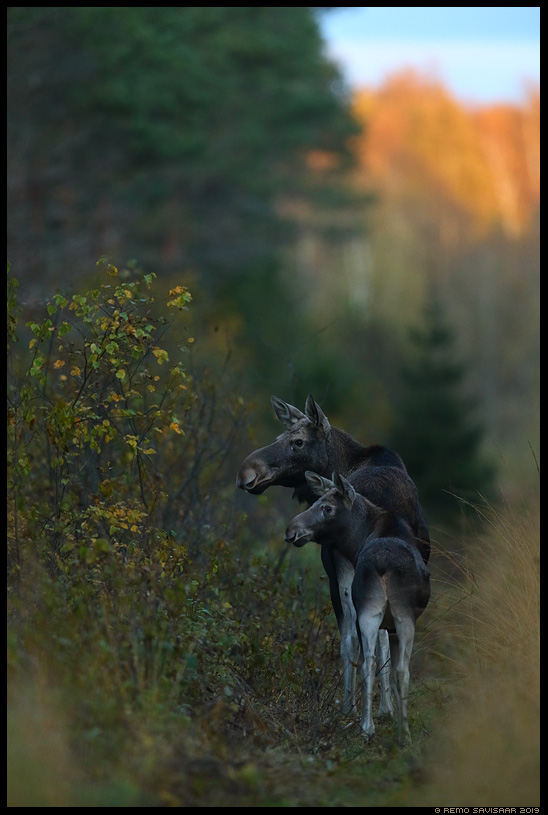Põder, Moose, Elk, Alces alces sügis autumn Remo Savisaar Eesti loodus Estonian Estonia Baltic nature wildlife photography photo blog loodusfotod loodusfoto looduspilt looduspildid