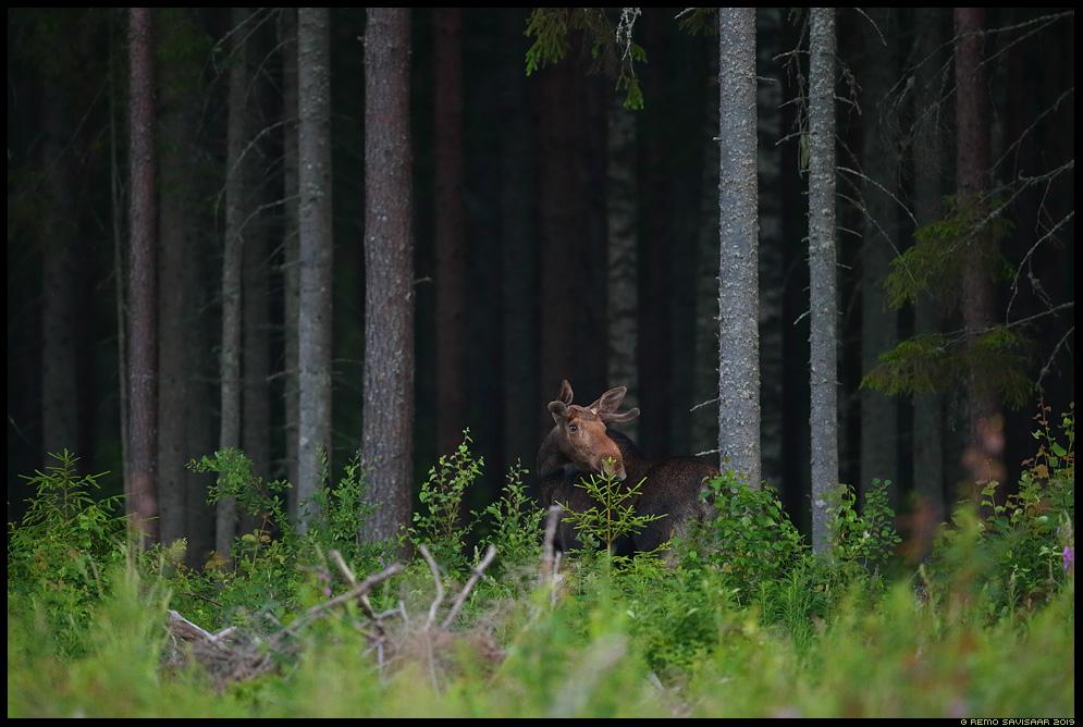 Põder, Moose, Elk, Alces alces männimets pine forest Remo Savisaar Eesti loodus Estonian Estonia Baltic nature wildlife photography photo blog loodusfotod loodusfoto looduspilt looduspildid