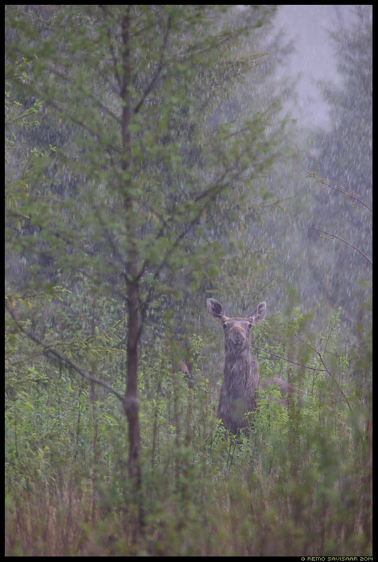 Põder, Moose, Elk, Alces alces vihm vihmasadu rahe rain rainfall spring kevad Remo Savisaar Eesti loodus Estonian Estonia Baltic nature wildlife photography photo blog loodusfotod loodusfoto looduspilt looduspildid
