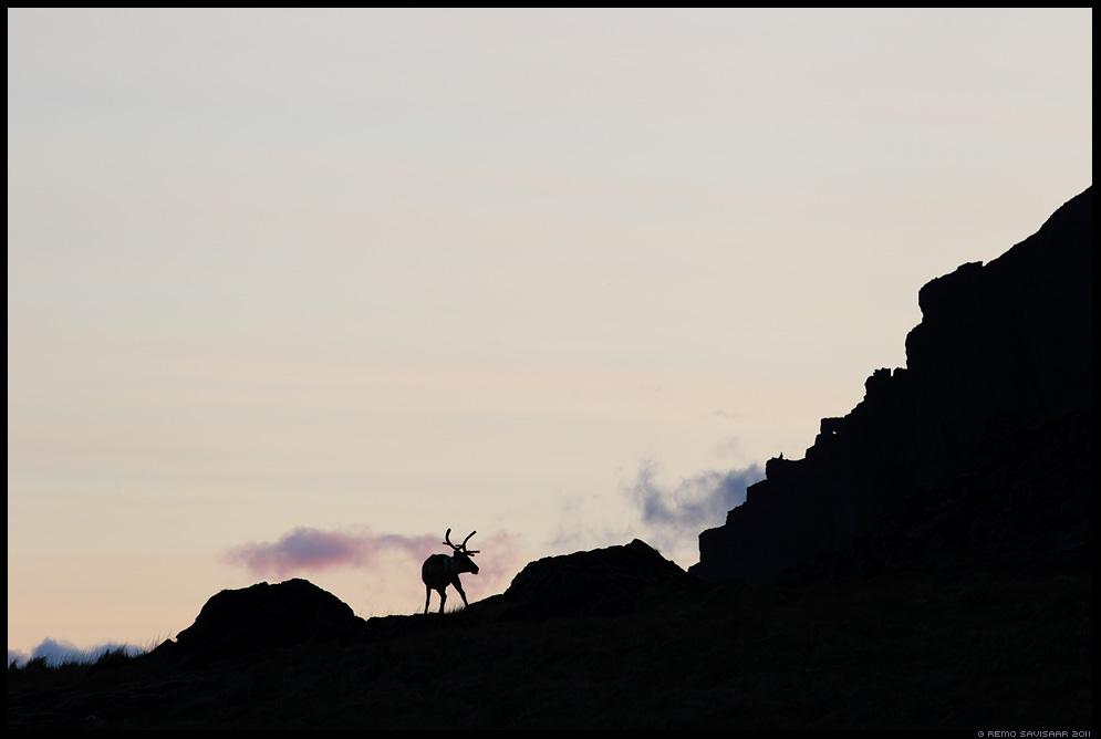 Island, Iceland, Metsik põhjapõder, Wild Reindeer, Rangifer tarandus, meeleolu, minimalism, silhouette, siluett
