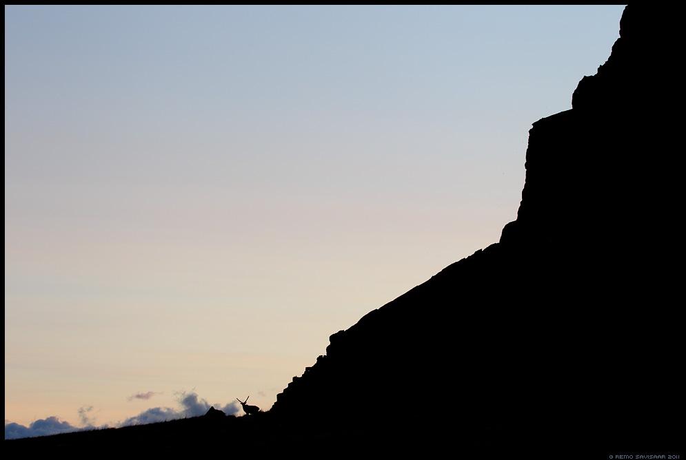 Island, Iceland, Põhjapõder, Reindeer, Rangifer tarandus, meeleolu, minimalism, silhouette, siluett