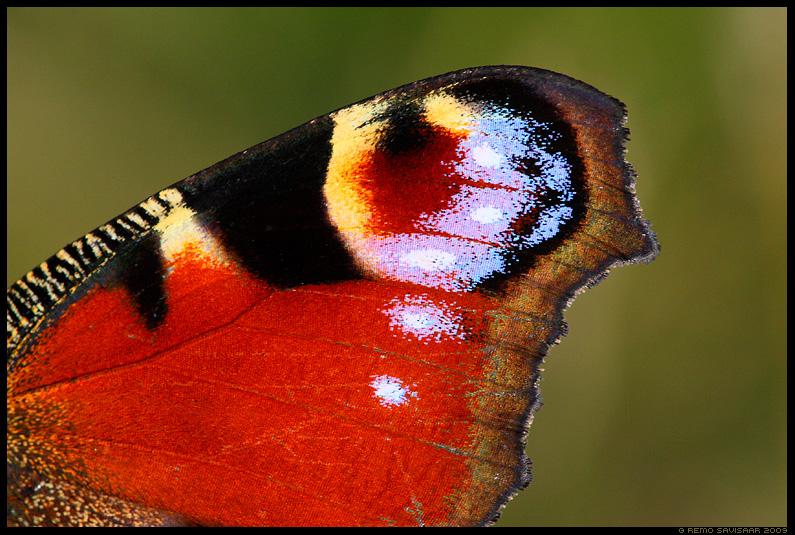 Päeva-paabusilm, Peacock Butterfly, Inachis io, liblikas