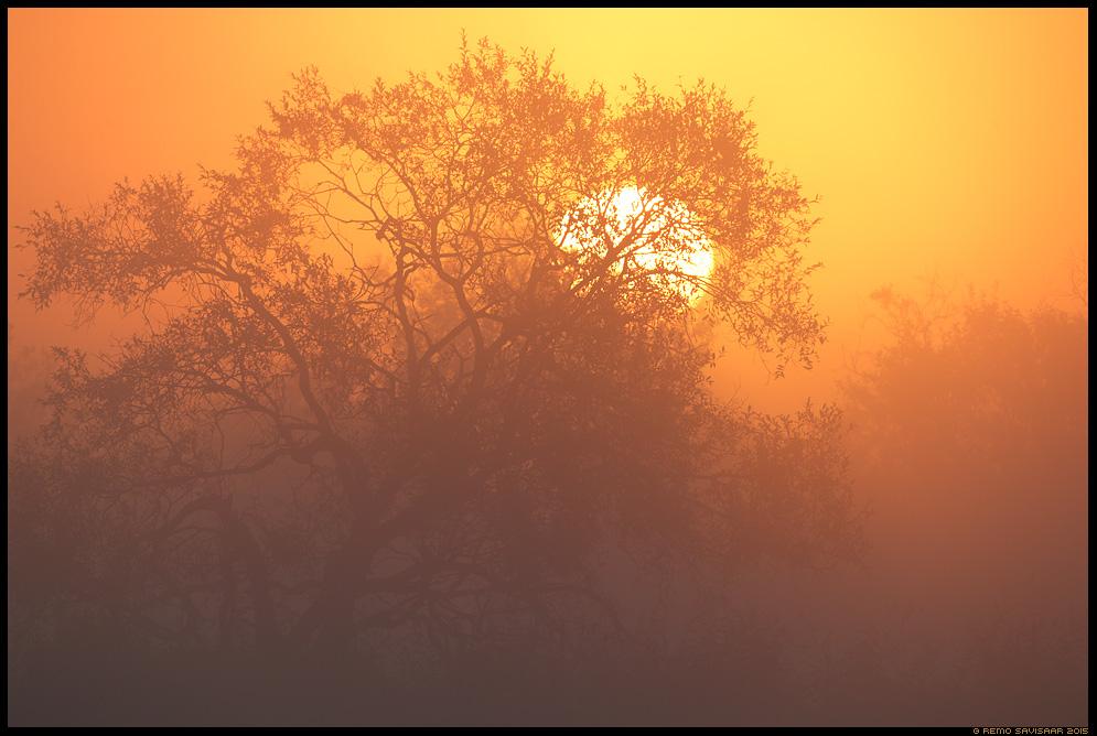 Päikesetõus, Sunrise paju pajupuu willow tree fog foggyluht luhal floodplain matsalu Remo Savisaar Eesti loodus  Estonian Estonia Baltic nature wildlife photography photo blog loodusfotod loodusfoto looduspilt looduspildid