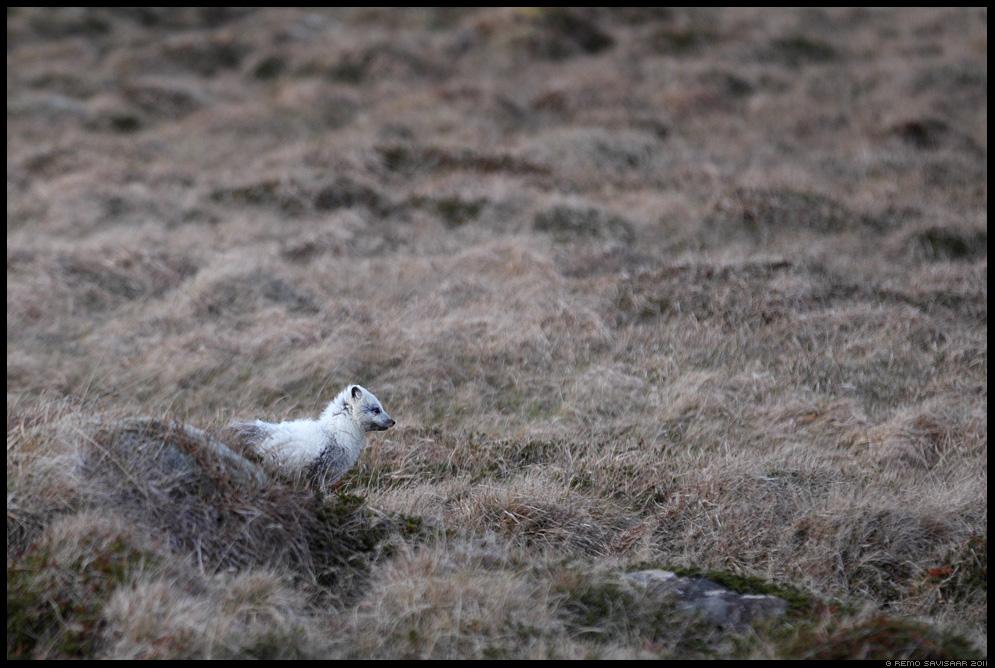 Island, Iceland, Polaarrebane, Artic fox, Vulpes lagopus