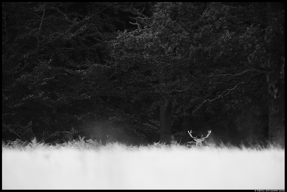 Punahirv, Red Deer, Cervus elaphus bw minimalism black and white Remo Savisaar nature wildlife photography photo blog loodusfotod loodusfoto looduspilt looduspildid