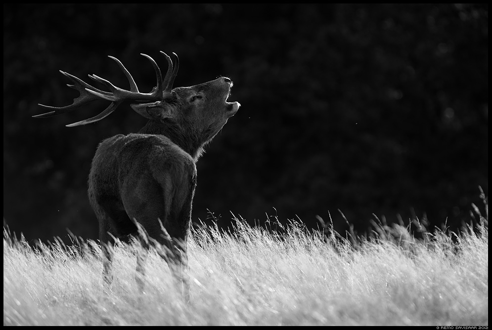 Punahirv, Red Deer, Cervus elaphus bw black and white Remo Savisaar nature wildlife photography photo blog loodusfotod loodusfoto looduspilt looduspildid