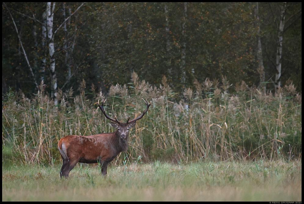Punahirv, Red Deer, Cervus elaphus  Remo Savisaar Eesti loodus Estonian Estonia Baltic nature wildlife photography photo blog loodusfotod loodusfoto looduspilt looduspildid