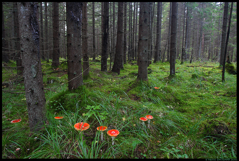 Punane kärbseseen, Fly Agaric, Amanita muscaria, mets, kuusemets, kuusik