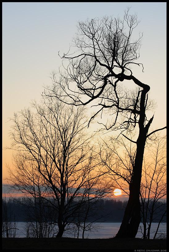 Eriline, Special puu tree päikeseloojang sunset Remo Savisaar nature wildlife photography photo blog loodusfotod loodusfoto looduspilt looduspildid