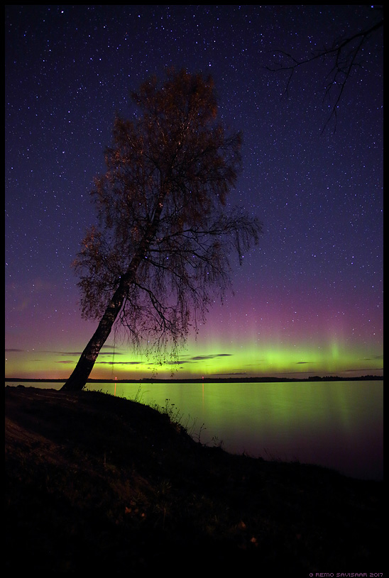 Värvikas öö, Colorful night kask kasepuu birch Remo Savisaar Eesti loodus  Estonian Estonia Baltic nature wildlife photography photo blog loodusfotod loodusfoto looduspilt looduspildid