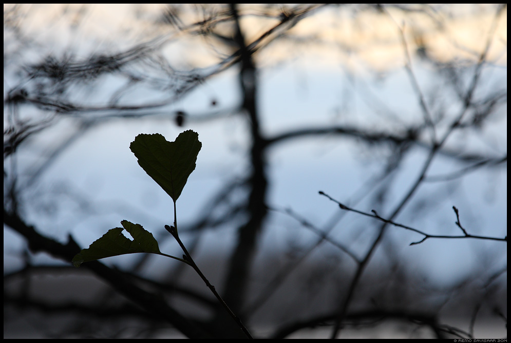 Südamekujuline, Heart-shaped puuleht tree leaf Remo Savisaar Eesti loodus  Estonian Estonia Baltic nature wildlife photography photo blog loodusfotod loodusfoto looduspilt looduspildid