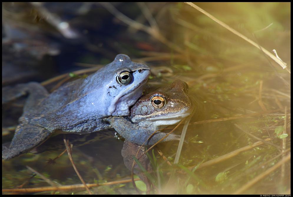 Rabakonn, Moor frog, Rana arvalis Spring kevad Remo Savisaar Eesti loodus Estonian Estonia Baltic nature wildlife photography photo blog loodusfotod loodusfoto looduspilt looduspildid