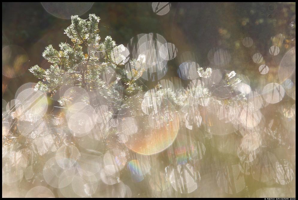 Rabamänd, Bog pine tree Remo Savisaar Eesti loodus  Estonian Estonia Baltic nature wildlife photography photo blog loodusfotod loodusfoto looduspilt looduspildid