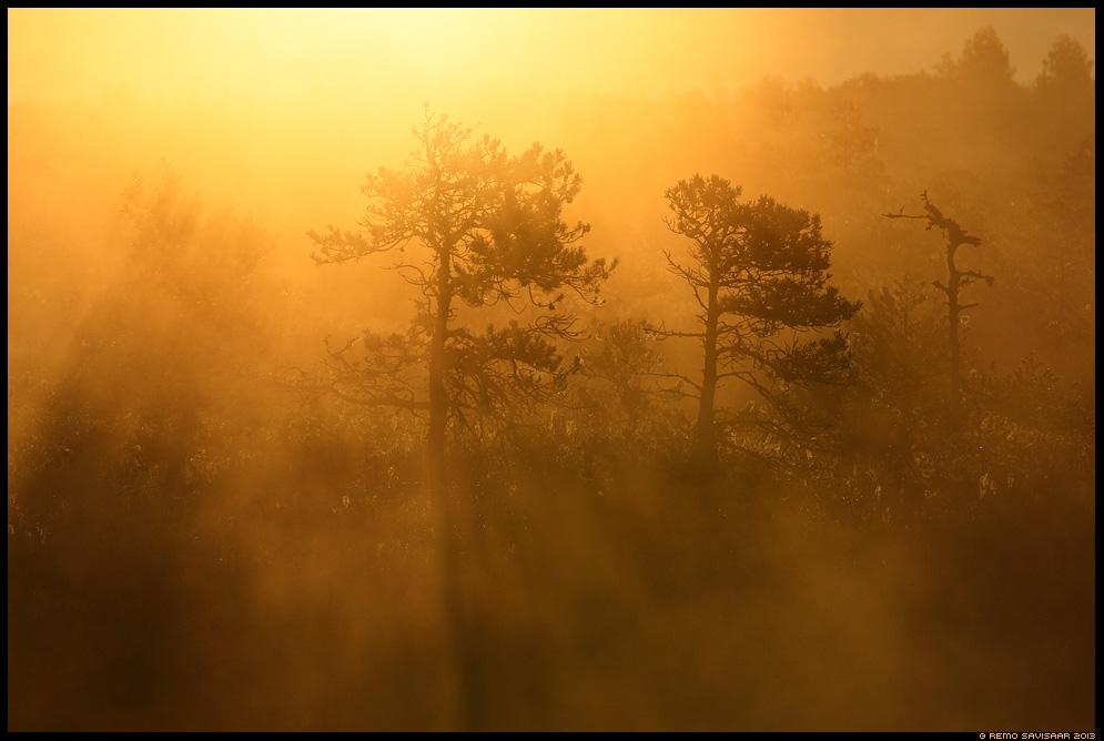 Rabamännid kullas, Bog pines in gold Remo Savisaar Eesti loodus  Estonian Estonia Baltic nature wildlife photography photo blog loodusfotod loodusfoto looduspilt looduspildid