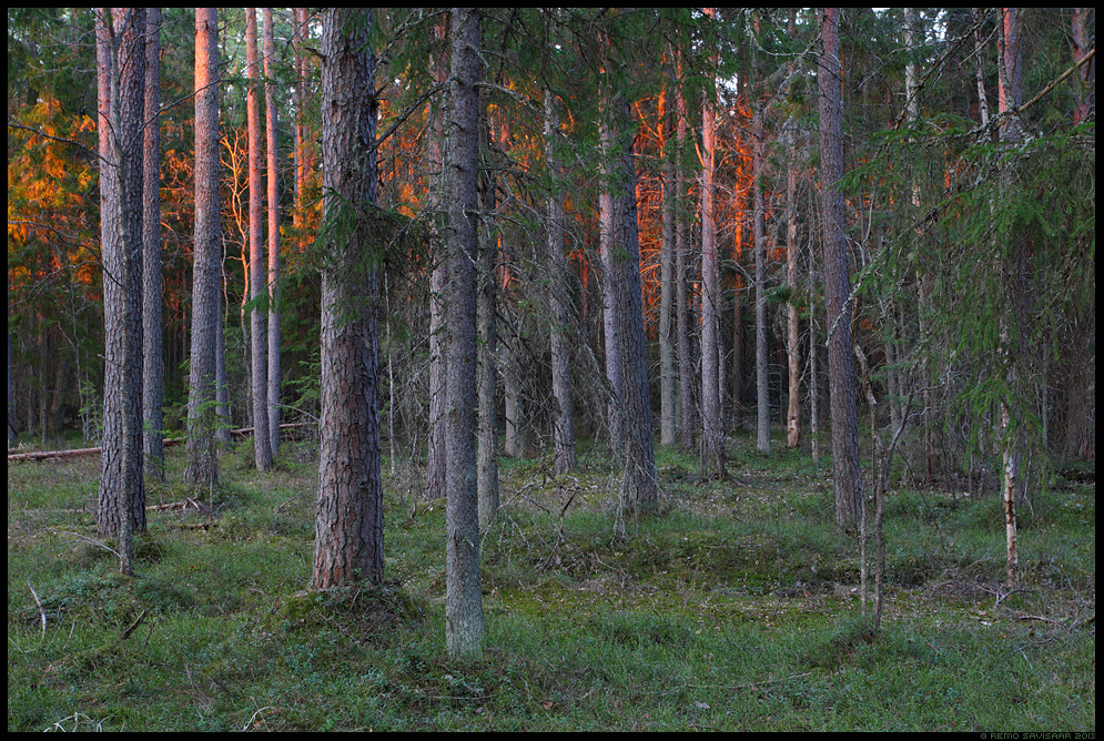 Rabamets, Bog forest kevad päikeseloojang õhtu evening Remo Savisaar Eesti loodus  Estonian Estonia Baltic nature wildlife photography photo blog loodusfotod loodusfoto looduspilt looduspildid