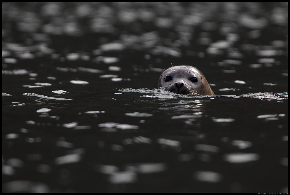 Island, Iceland, Randalhüljes, hüljes, Harbour seal, Phoca vitulina
