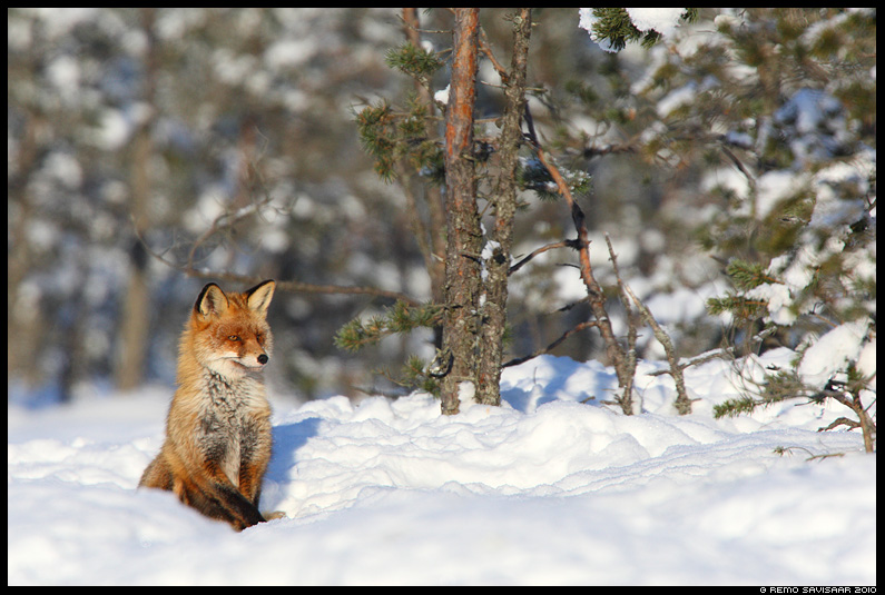 Rebane, Red Fox, Vulpes vulpes, talv, raba, winter, bog