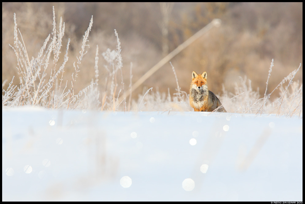 Rebane, Red Fox, Vulpes vulpes animal härmatis frost frosty härmas talv Remo Savisaar Eesti loodus  Estonian Estonia Baltic nature wildlife photography photo blog loodusfotod loodusfoto looduspilt looduspildid