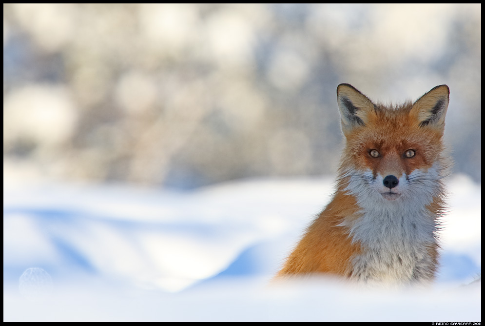 Rebane, Red Fox, Vulpes vulpes Remo Savisaar Eesti loodus Estonian Estonia Baltic nature wildlife photography photo blog loodusfotod loodusfoto looduspilt looduspildid nature wild wildlife nordic
