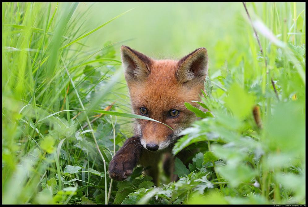 Rebane, Red Fox, Vulpes vulpes Rebasekutsikas, Red Fox kit Remo Savisaar Eesti loodus  Estonian Estonia Baltic nature wildlife photography photo blog loodusfotod loodusfoto looduspilt looduspildid