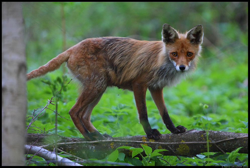 Kaunis rebaseema, Rebane, Beautiful Red Fox mother, Vulpes vulpes, mets, forest