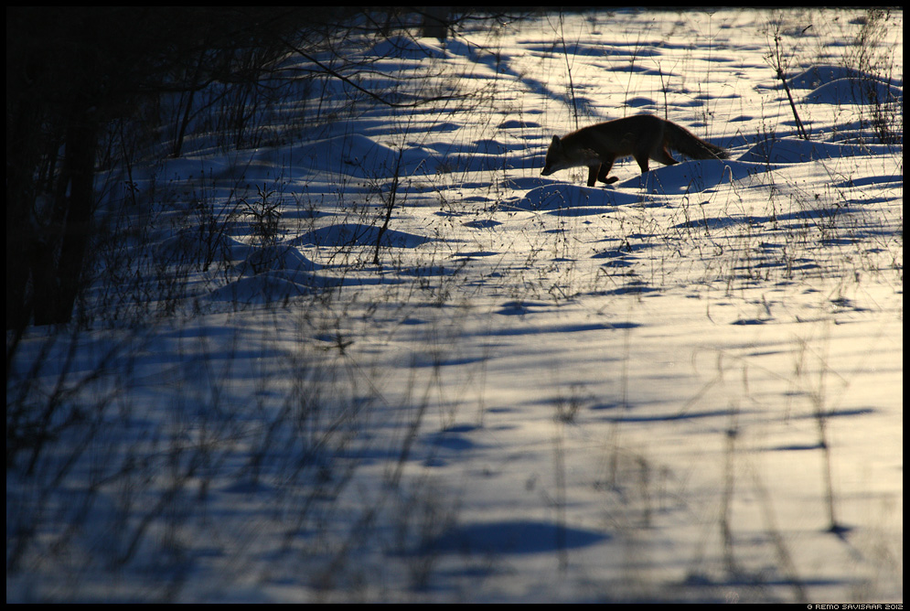 Rebane, Red Fox, Vulpes vulpes, jooksuaeg