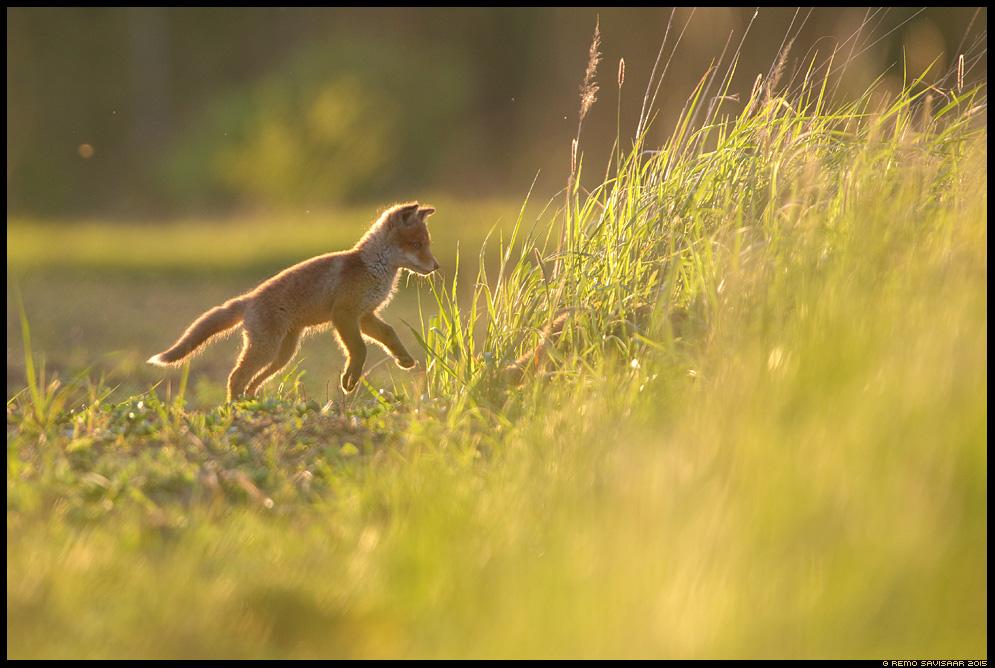 Rebane, Red Fox, Vulpes vulpes Rebasekutsikas, Red Fox kit keskkond habitat Remo Savisaar Eesti loodus  Estonian Estonia Baltic nature wildlife photography photo blog loodusfotod loodusfoto looduspilt looduspildid