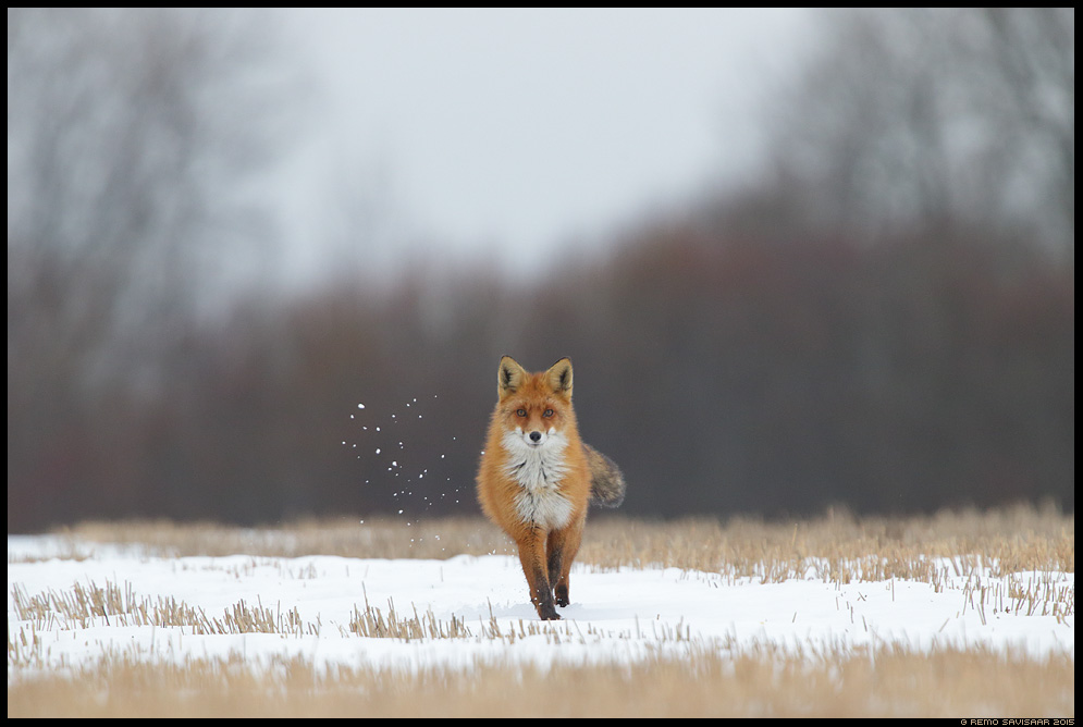 Rebane, Red Fox, Vulpes vulpes Jooksuaeg, Mating season Remo Savisaar Eesti loodus  Estonian Estonia Baltic nature wildlife photography photo blog loodusfotod loodusfoto looduspilt looduspildid