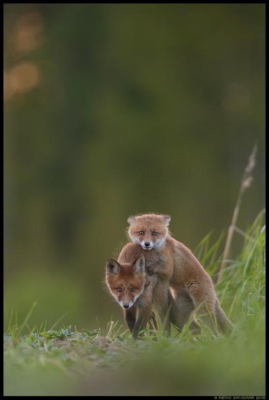 Rebane, Red Fox, Vulpes vulpes rebasekutsikas fox kit Remo Savisaar Eesti loodus  Estonian Estonia Baltic nature wildlife photography photo blog loodusfotod loodusfoto looduspilt looduspildid