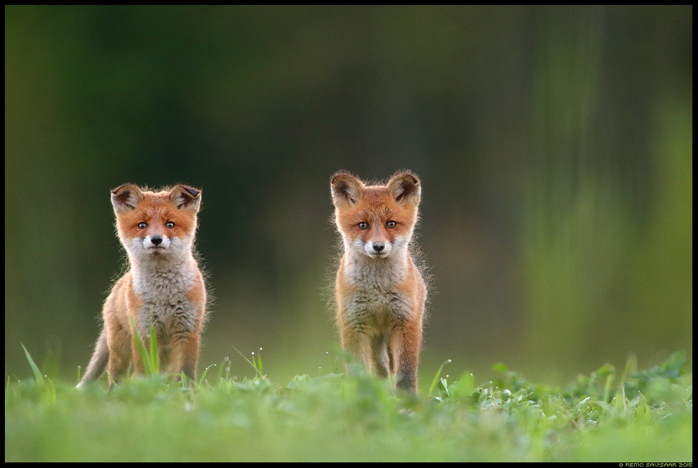 Rebane, Red Fox, Vulpes vulpes Rebasekutsikas märg wet Red Fox kit Remo Savisaar Eesti loodus  Estonian Estonia Baltic nature wildlife photography photo blog loodusfotod loodusfoto looduspilt looduspildid
