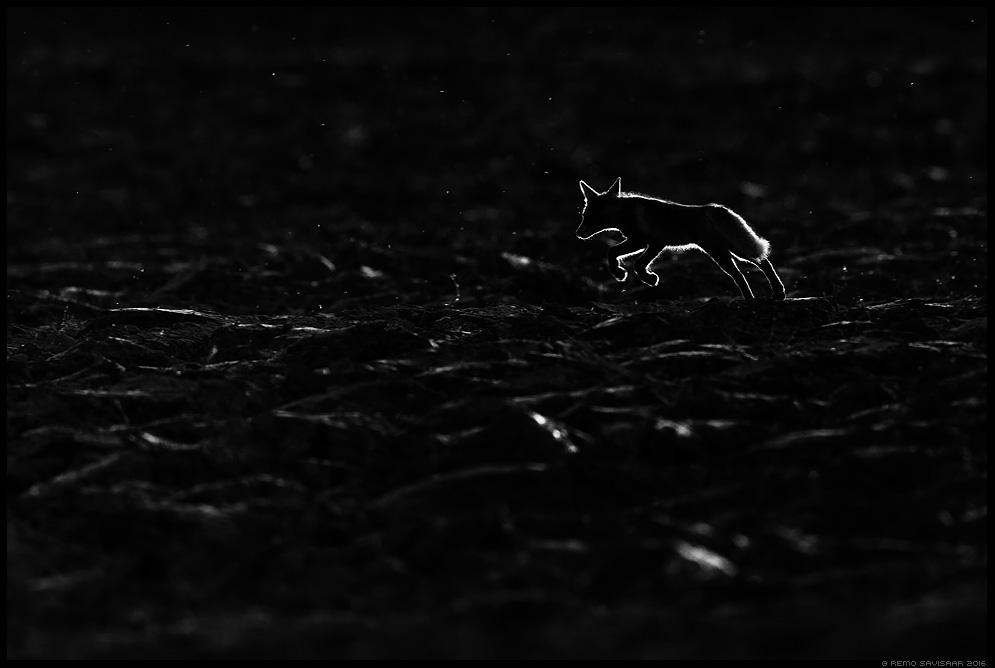 Rebane, Red Fox, Vulpes vulpes Rebasekutsikas, Red Fox kit hämar pime dark gloomy meeleolu Remo Savisaar Eesti loodus  Estonian Estonia Baltic nature wildlife photography photo blog loodusfotod loodusfoto looduspilt looduspildid