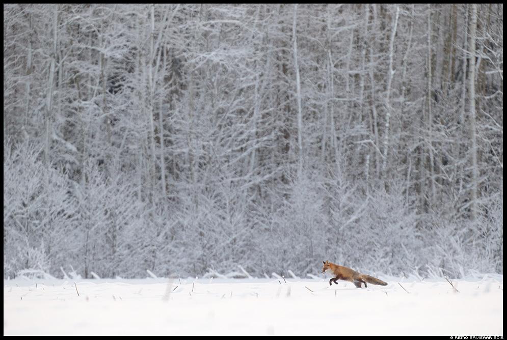 Rebane, Red Fox, Vulpes vulpes talv talvine Remo Savisaar Eesti loodus  Estonian Estonia Baltic nature wildlife photography photo blog loodusfotod loodusfoto looduspilt looduspildid