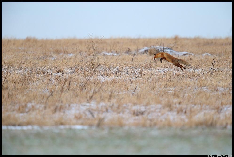 Rebane, Red Fox, Vulpes vulpes Remo Savisaar Eesti loodus  Estonian Estonia Baltic nature wildlife photography photo blog loodusfotod loodusfoto looduspilt looduspildid