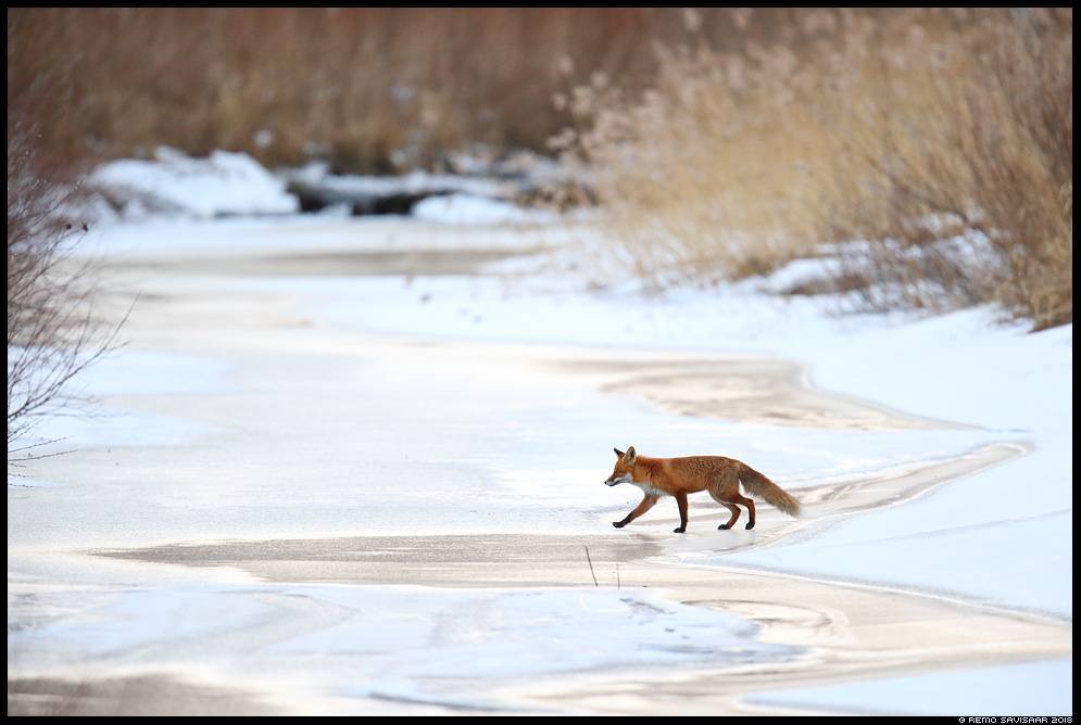 Rebane, Red Fox, Vulpes vulpes tartumaa jõgi river Remo Savisaar Eesti loodus Estonian Estonia Baltic nature wildlife photography photo blog loodusfotod loodusfoto looduspilt looduspildid landscape nature wild wildlife nordic
