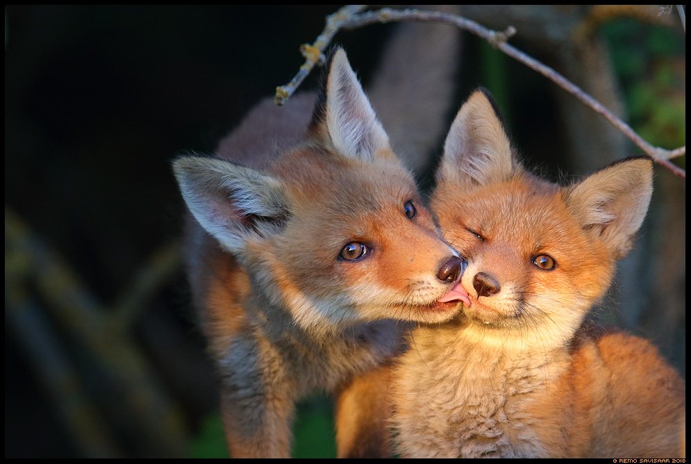 Rebane, Red Fox, Vulpes vulpes rebasekutsikas red fox cub  armastus Remo Savisaar Eesti loodus Estonian Estonia Baltic nature wildlife photography photo blog loodusfotod loodusfoto looduspilt looduspildid landscape nature wild wildlife nordic