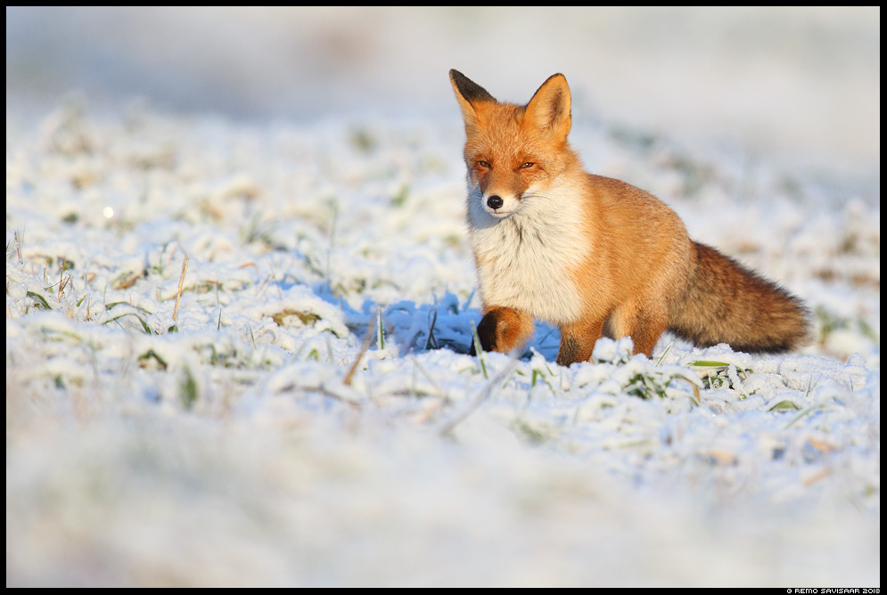 Rebane, Red Fox, Vulpes vulpes tartumaa lumine snowy Remo Savisaar Eesti loodus Estonian Estonia Baltic nature wildlife photography photo blog loodusfotod loodusfoto looduspilt looduspildid landscape nature wild wildlife nordic