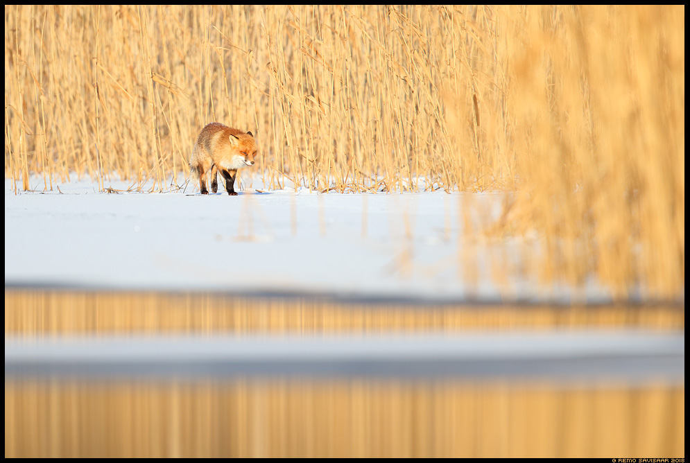 Rebane, Red Fox, Vulpes vulpes tartumaa jõgi river pilliroog reed reedbed Remo Savisaar Eesti loodus Estonian Estonia Baltic nature wildlife photography photo blog loodusfotod loodusfoto looduspilt looduspildid landscape nature wild wildlife nordic