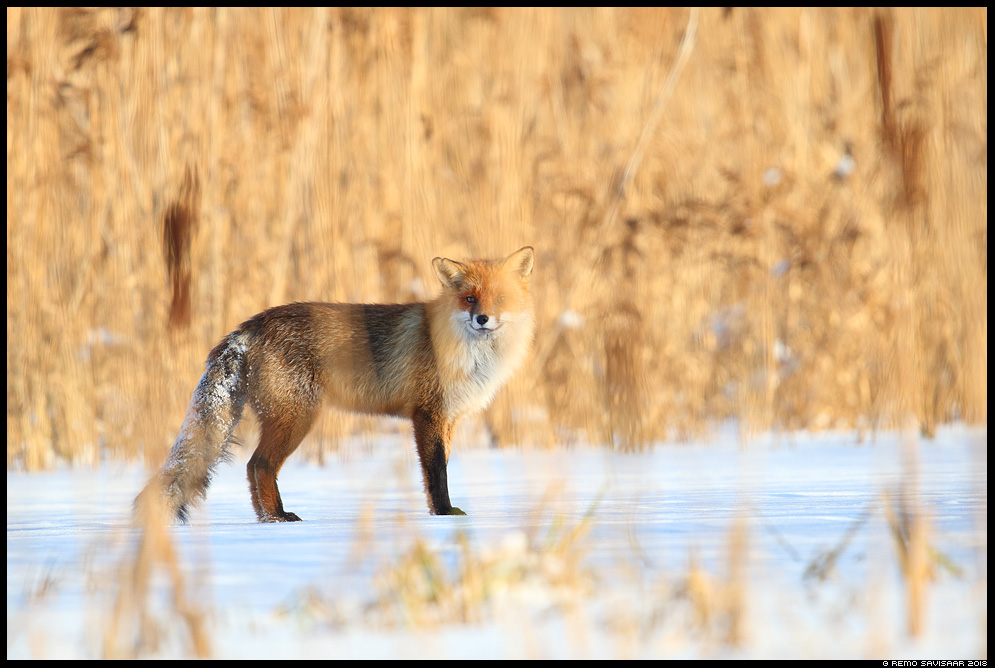 Rebane, Red Fox, Vulpes vulpes tartumaa pilliroog reed reedbed Remo Savisaar Eesti loodus Estonian Estonia Baltic nature wildlife photography photo blog loodusfotod loodusfoto looduspilt looduspildid landscape nature wild wildlife nordic